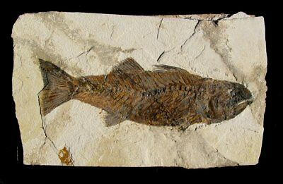 """Extinctions Auction Very Large Affordable 10""""+ Carniverous Mioplosus Fossil Fish"""