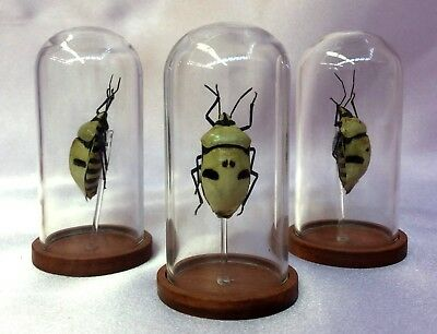 O34 Entomology Taxidermy Man Faced Beetle glass dome Disply Specimen Collectible
