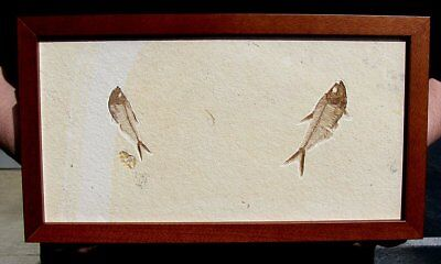 Extinctions- Awesome Framed Fossil Fish Pair, Beautiful Display- Great Gift Idea