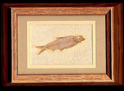 Extinctions- Classic Framed Fossil Fish- Beautiful Display- Great Gift Idea! Wow