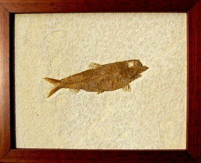 Extinctions- Large Framed Fossil Fish- Wonderful Display- Unique Gift Idea! Wow!