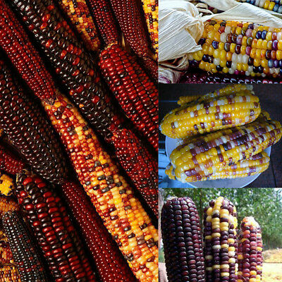 C063 New Delicious Colorful 40pcs Rare Glass Gem Corn Seeds Non Gmo Vegetable Se