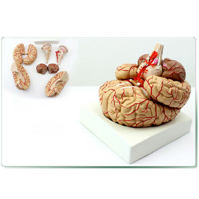 Anatomical Human 1:1 8 Parts Brain Brainstem Arteries Model School Teaching