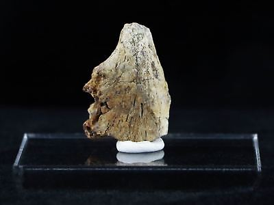Raptor Fossil Bone Specimen Judith River Formation Cretaceous Mt Free Coa, Stand