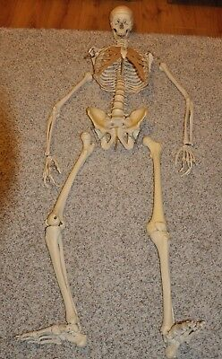 Lifesize Anatomical Skeleton Model -  Used - NO STAND - See photos & description