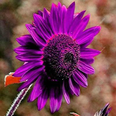 20Pcs Purple Sunflower Seeds Rare Bonsai Flower Seed Garden potted Plant