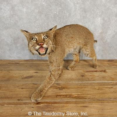 18612 WC | Alaskan Lynx Life-Size Taxidermy Mount For Sale