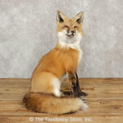 #20112 E+ | Red Fox Life-Size Taxidermy Mount For Sale