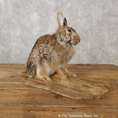 #19082 E+| Sitting Cottontail Rabbit Life Size Taxidermy Mount - Hare Snowshoe