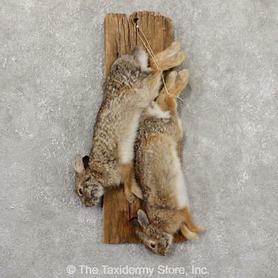 #18872 E | Cottontail Rabbit Hunter Taxidermy Mount For Sale