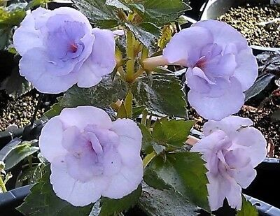 Achimenes varieties 1 rhizome per variety Gesneriad A CLEARANCE PRICES