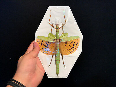 Entomology Insect Insect Paracyphocrania major A1 Indonesia GIANT