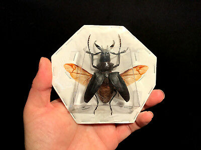 Entomology Insect Dorysthenes walkeri A1 Thailand ailes open! Large