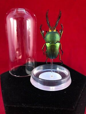 G102 Entomology Taxidermy Mt Arfak Stag beetle insect specimen Glass Disply Dome