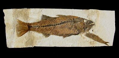 "Extinctions Auction- Large 9"" Carniverous Mioplosus Fossil Fish- Affordable Pair"