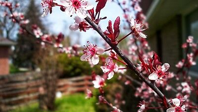 Digital Photo Picture Image - Red and White Cherry Blossom - Free Shipping
