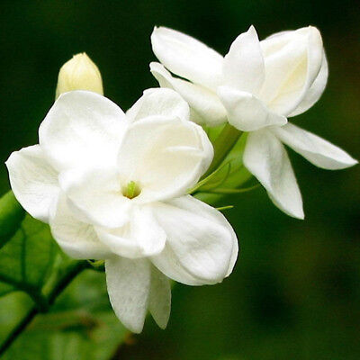 20 pcs pure white jasmine plant seeds perennial flowers seeds home garden SP