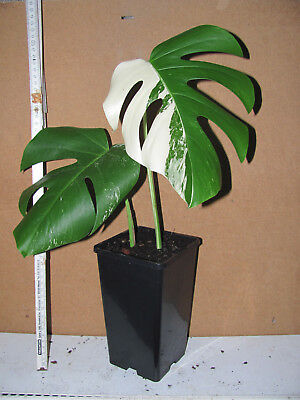 Monstera Ableger monstera variegata ableger 1 20.12. - eur 35,00 | picclick de