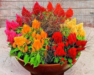 500+CELOSIA MIX Flower Seeds Pampus Plume/Feathery Amaranth Garden/Containers