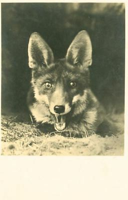 RARE Antique Postcard PC with Gorgeous Fox Germany c1910