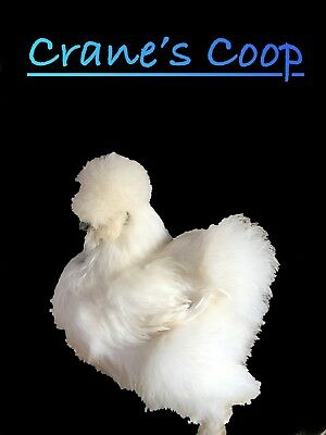 **NPIP** 6+ bearded silkie hatching eggs - Show Quality Lines