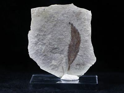 Highly Detailed Rhus Nigricans Sumac Fossil Plant Leaf Eocene Age Free Stand