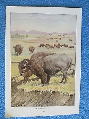 1916 Print by Louis Agassiz Fuertes - American Bison or Buffalo - I COMBINE SHIP