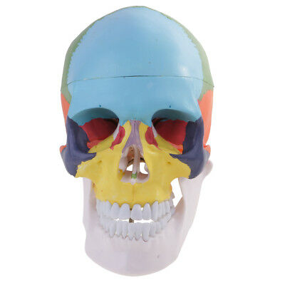1:1 Safety PVC Colorful 3 Parts Human Skull Anatomical Teaching Model Kit
