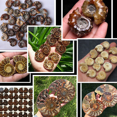 Top varieties Natural Ammonite Fossil Specimen Crystal Healing Collect Decor 1PC