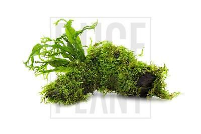 Christmas Moss (Vesicularia sp.) and Windelov Java Fern on Driftwood