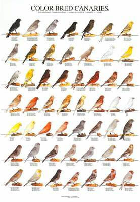 Bird Poster Canary Canaries Colours Large Bird Poster Birdroom Wall Fathers Day