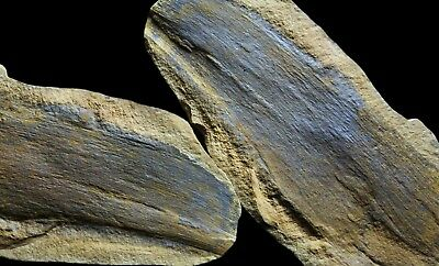 An Extra Large Calamites Wood Fossil, Mazon Creek Plant Bark Fossil Concretion
