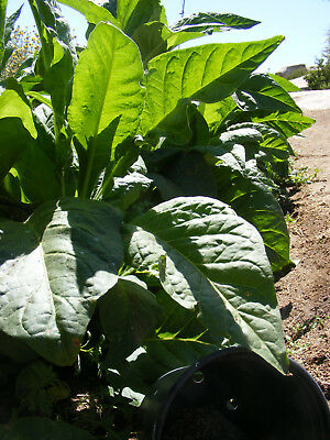 3007 Tobacco Seed 1000 Cigar Seeds, 1004 Kentucky Brown & 1003 Virginia Gold