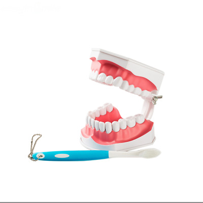 EASYINSMILE 1X Dental Teaching Typodont Model Large With Removable Teeth Colgate