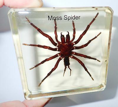 Moss TARANTULA Spider in 75 mm square Amber Clear Block Name embedded