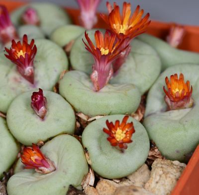 Conophytum pageae Rietpoort (variable flower colors), limited supply!, 10 seeds