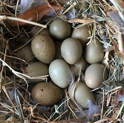 24++ Button Quail Fertile Hatching Eggs Assorted Colors Or Specific Colors NPIP