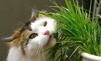 Sweet Oat Grass Seeds For Cat 100 seeds