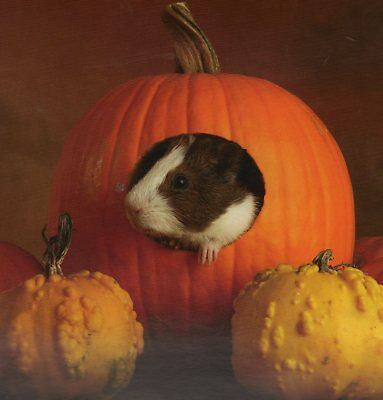 Guinea Pig in a PUMPKIN,featurd on a FRIDGE MAGNET