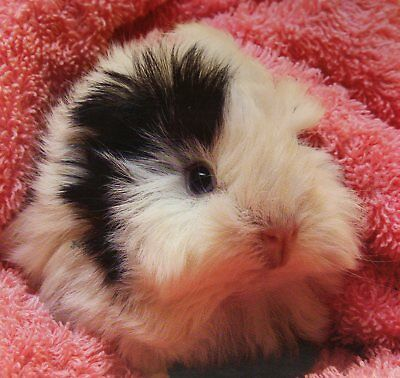 GUINEA PIG in a pink blanket featured on a FRIDGE MAGNET
