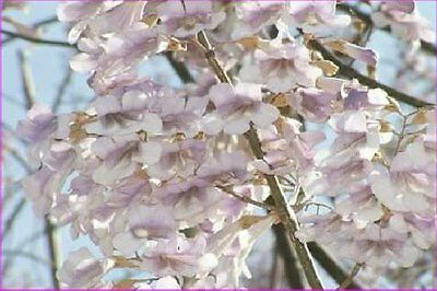 Royal Empress Tree seeds - Paulownia tomentosa - Foxglove - Princess - FAST grow