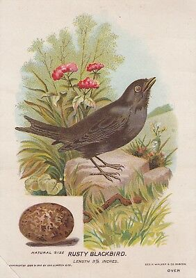 Trade Card Good-Will Soap New England's Purest, The Rusty Blackbird #8 1902