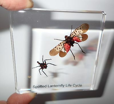 Spotted Lanternfly Cicada Life Cycle Simplified Set Real Specimen Learning Aid