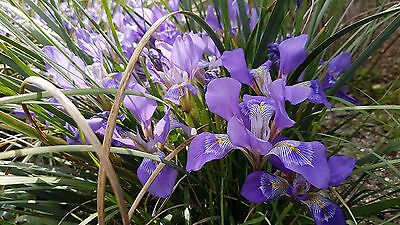 Iris unguicularis large flowered form, 1 PACK OF SEEDS (20 seeds)