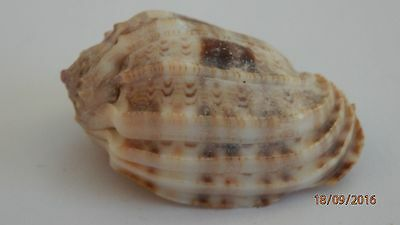 Sea Shells Harpidae, Harpa amouretta - a  Red Sea Harp Shell approx 40.2 mm long