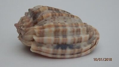 Sea Shells Harpidae, Harpa amouretta - The Red Sea Harp Shell approx 37.4 mm.