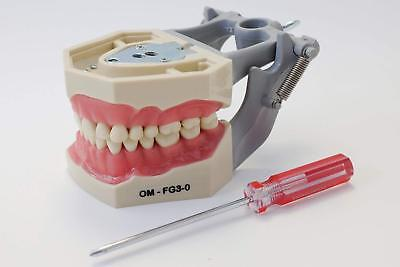 Dental Typodont  | Model FG3 | With Articulator | Removable Teeth| ARTMED