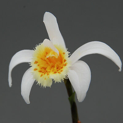 Pleione grandiflora yellow lip, blühstarke XL Bulbe