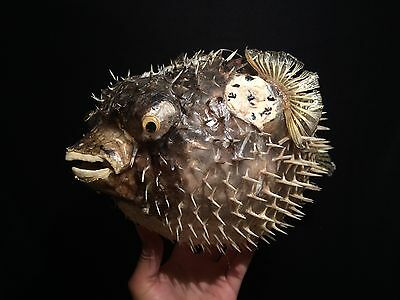 Taxidermy Cabinet of curiosities Super Fish Diodon naturalized + 50 cm