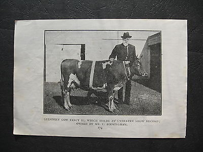Guernsey  Cow OWNED by L Birmingham  Duckfield Farm Coraki
